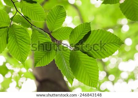 Looking upward towards leaves on beech tree. - stock photo
