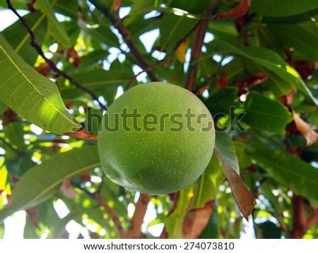 Looking upwards at a Green mango hangs from tree. - stock photo