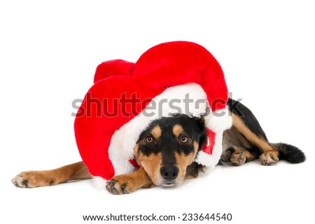 Looking Working Kelpie with a Santa hat, isolated on white - stock photo