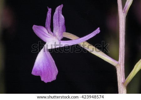 Loose-flowered Orchid - Anacamptis laxiflora - stock photo