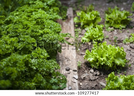 Loose leaf lettuce and curly parsley in a garden - homemade vegetable