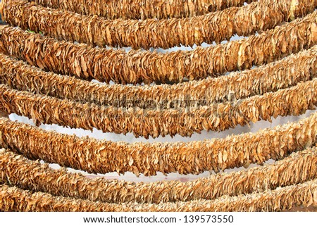 Loose tobacco leaves drying in the sun