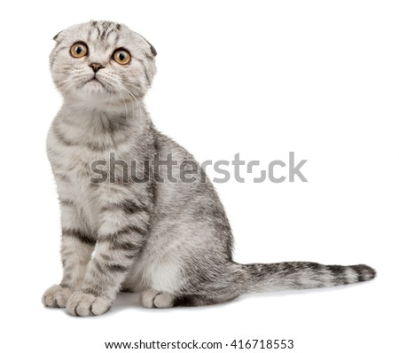 lop-eared scottish cat  isolated on white background
