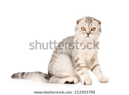 lop-eared scottish cat looking at camera. isolated on white background - stock photo