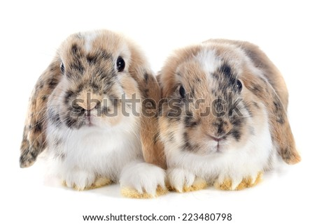 Lop Rabbit in front of white background - stock photo