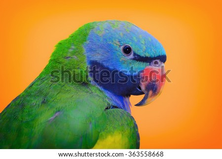 Lord Derbys Parakeet over the Yellow Background - stock photo