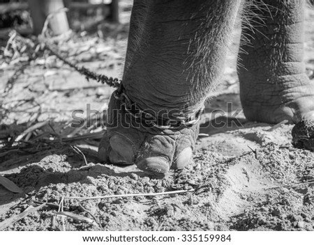lose up elephant with legs in a chains , black and white