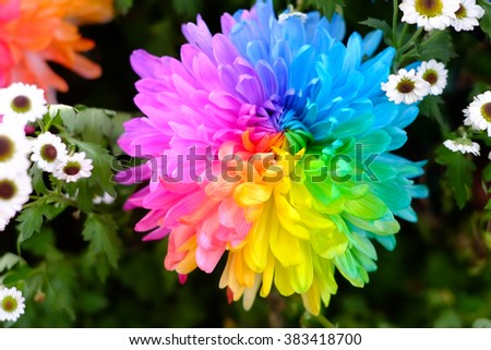 lose up of happy flower : rainbow colorful petals - stock photo