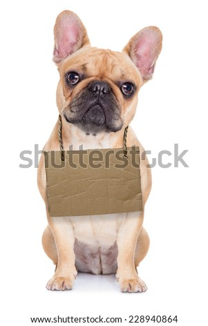 lost,homeless french bulldog with cardboard hanging around neck, isolated on white background, looking so sad - stock photo