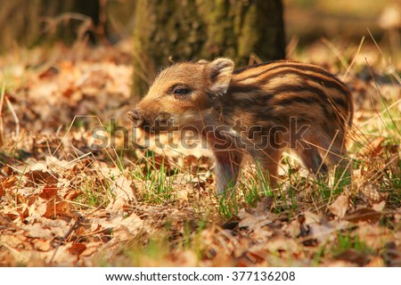 Lost wild young pig - stock photo