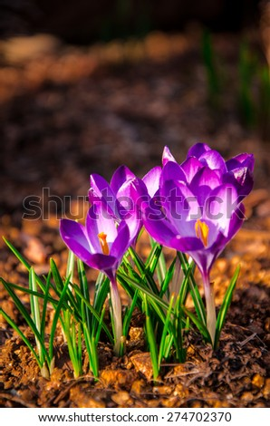 lot of purple crocus flowers in spring - stock photo