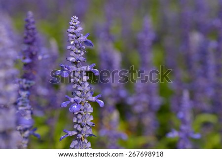 Lot of  purple sage in a garden in summer - stock photo