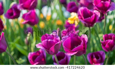 lot of vivid violet tulips, spring, outdoors