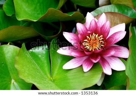 loto flower - stock photo