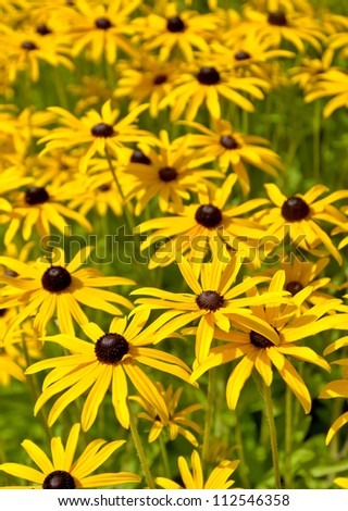 Lots of black eyed susan flowers - stock photo