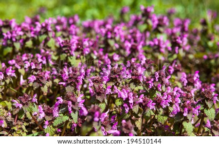 Lots of blooming dead nettles with purple flowers. - stock photo