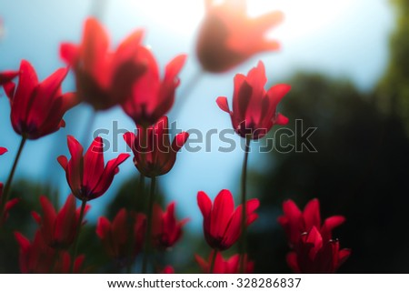 Lots of bright red tulips growing on summer green field. Flowers swaying by wind. Beautiful colours on evening in spring.