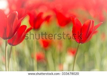 Lots of bright red tulips growing on summer green field. Flowers swaying by wind. Beautiful colours in spring. - stock photo