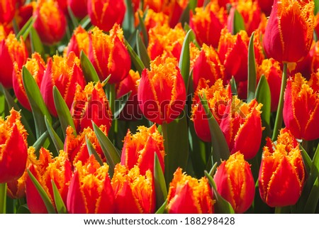 lots of Fresh colorful tulips in warm sunlight