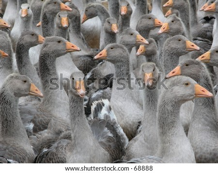 Lots of geese in southern France for pate and foie production - stock photo