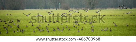 Lots of geese searching food in the meadows along the IJssel in early spring  - stock photo