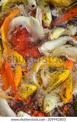 Lots of Koi Carps Fish Japanese swimming   Cyprinus carpio  beautiful color variations natural organic