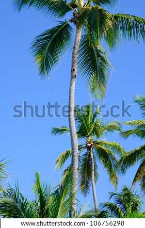 Lots of palm trees against a beautiful deep blue sky
