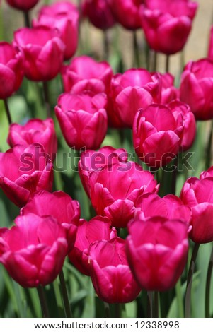 Lots of pink tulips