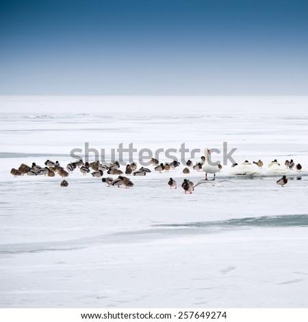lots of wild ducks in winter - stock photo