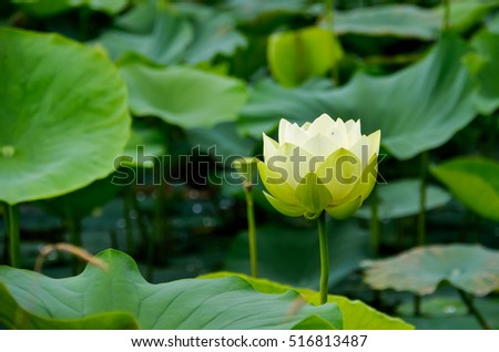 Lotus and water lily pond with blooming white flowers