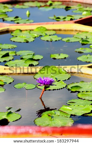 Lotus blooming  - stock photo