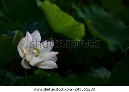 Lotus blooming - stock photo