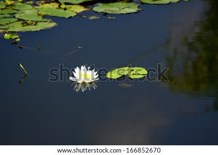 Lotus blooming in the pond - stock photo