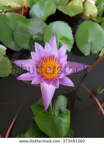 lotus blossom - stock photo