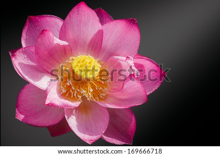 lotus blossom or water lily flower blooming - stock photo