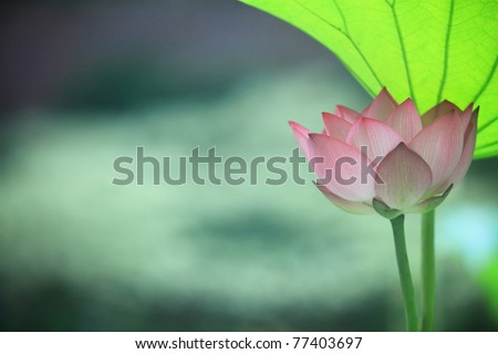 Lotus Blossom with leaf - stock photo