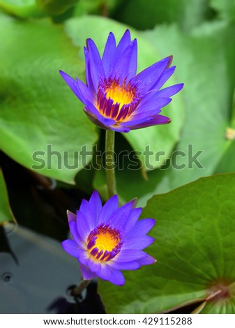 lotus blossoms or water lily flowers blooming