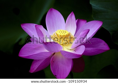 lotus blossoms or water lily flowers blooming on pond - stock photo