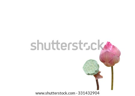 lotus bud and lotus seed are isolated on white background - stock photo