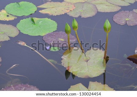 Lotus bud in the pond - stock photo