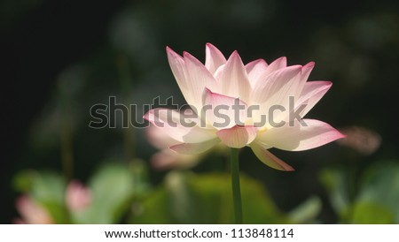 Lotus close up