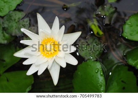 Lotus flower after rain water lily stock photo edit now shutterstock lotus flower after rain water lily science name nymphaea lotus linn mightylinksfo