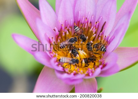 Lotus flower and bee in the park on morning time