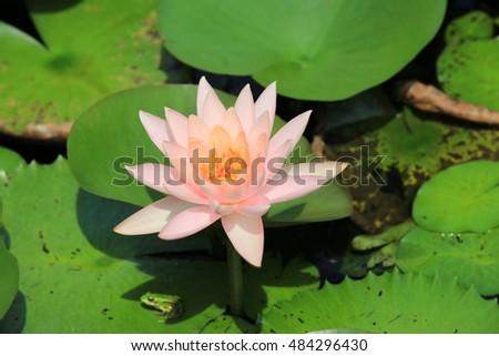 Lotus flower and frog,beautiful white with pink lotus flower blooming in the pond in summer,closeup