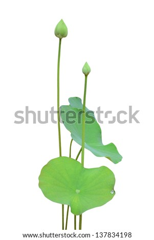 lotus flower and leaf isolated on white background - stock photo