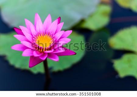 Lotus flower and Lotus flower plants. - stock photo