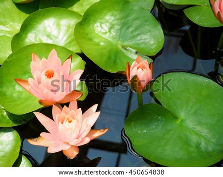 Lotus flower and Lotus flower plants,lotus blooming in the pond - stock photo