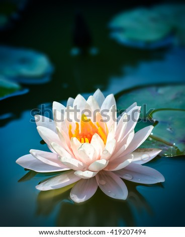 Lotus flower and Lotus flower plants,soft focus.vertical background  - stock photo