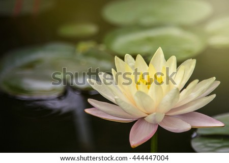 Lotus flower and lotus leaves - stock photo