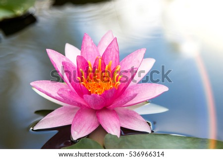 Lotus flower and lotus leaves in water filled with lotus grove.